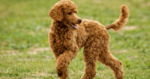 Подобрете кожата и козината на кучето си с един прост трик