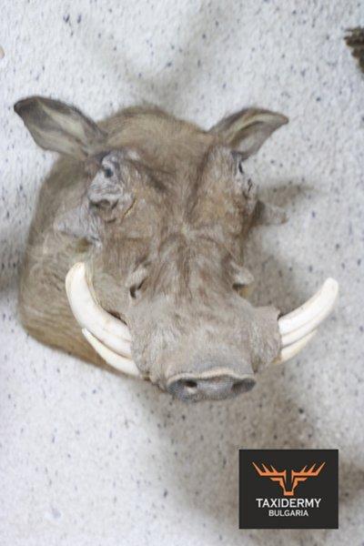 Африканско брадавичесто прасе