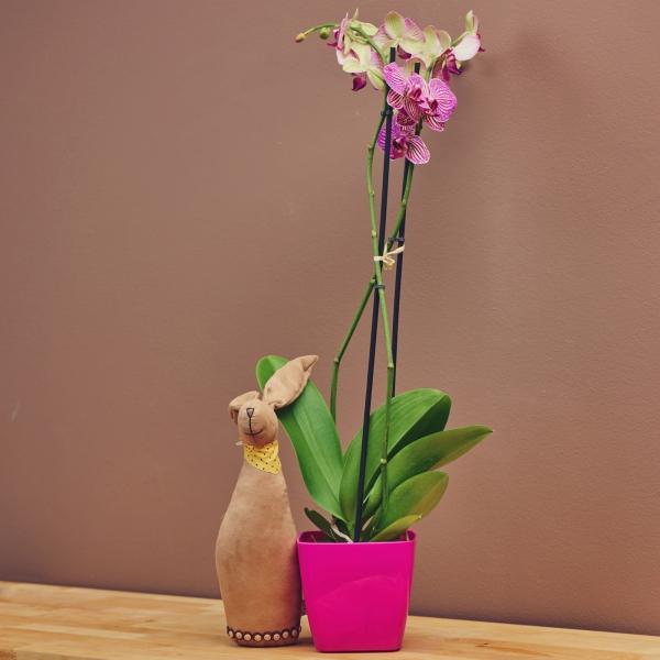 Орхидея - цикламена