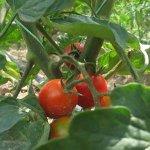 Хайвер с домати
