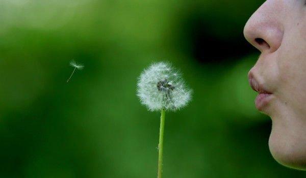 Корен от Глухарче - неподозирани ползи за здравето, като например спиране растежа на раковите клетки