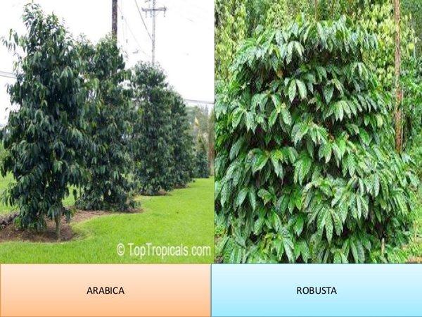 От плантациите до пазара на сурово кафе (1)
