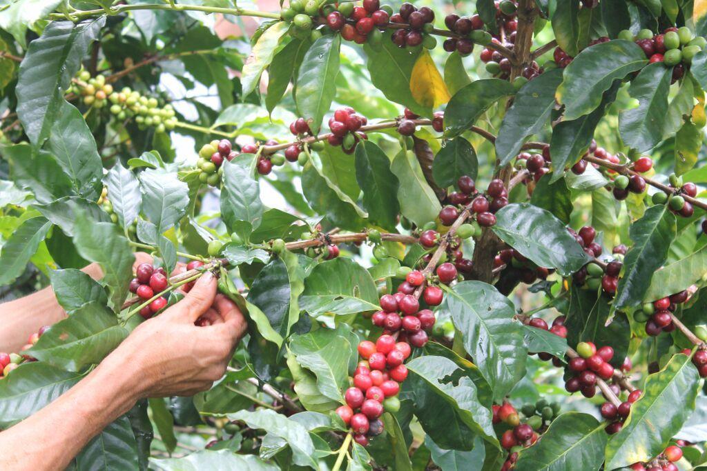 От плантациите до пазара на сурово кафе (2)