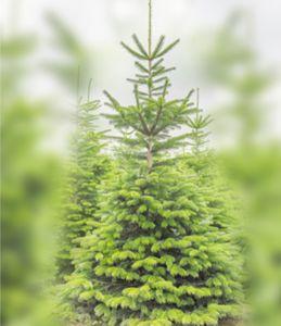 Жива Коледна Елха - ПОД НАЕМ Изображение