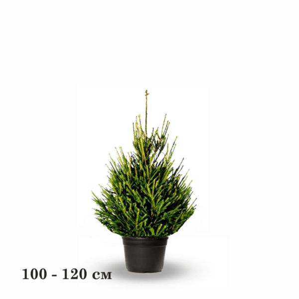 Контейнерен Балкански Смърч 100-120 см