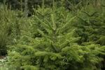 Щастлива Коледна Елха - XXL (Кавказка ела)