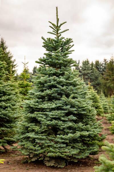 Щастлива Коледна Елха - XL (Бяла Ела Алба) 160-180 см
