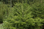 Щастлива Коледна Елха - XL (Кавказка ела)