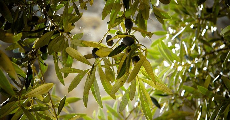 Неподозирани здравни ползи на екстракта от маслинови листа