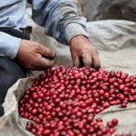 """Прясно изпечено """"Специално Кафе"""" Гватемала, Пампойла"""