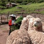 """Прясно изпечено """"Специално Кафе"""" Перу Лама, БИО-Copy"""